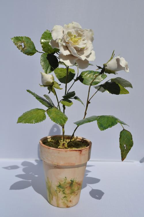 Potted English Rose